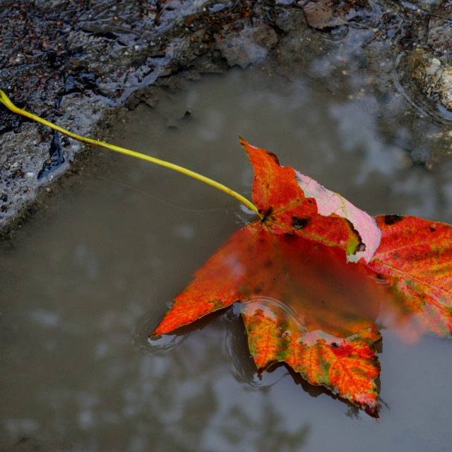 """Maple leaf in fen"" stock image"