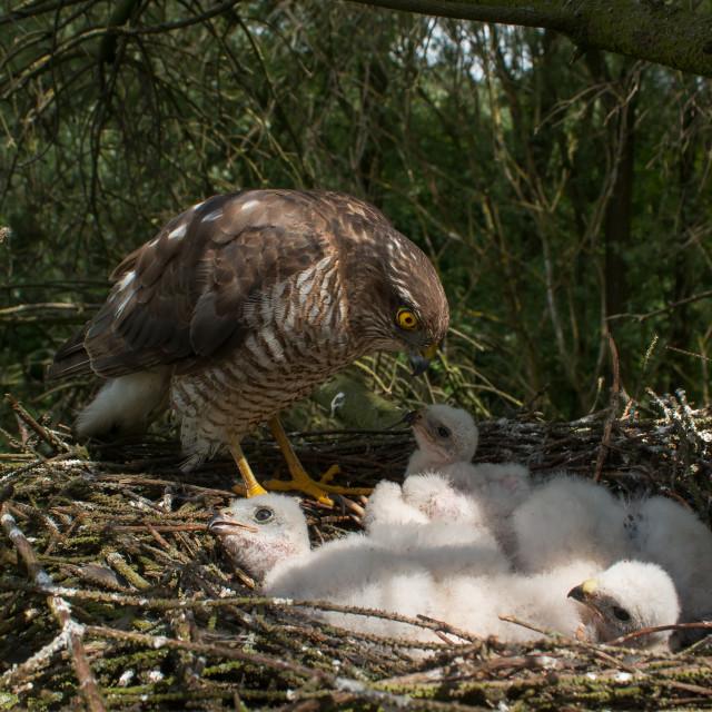"""Sparrowhawk nest"" stock image"