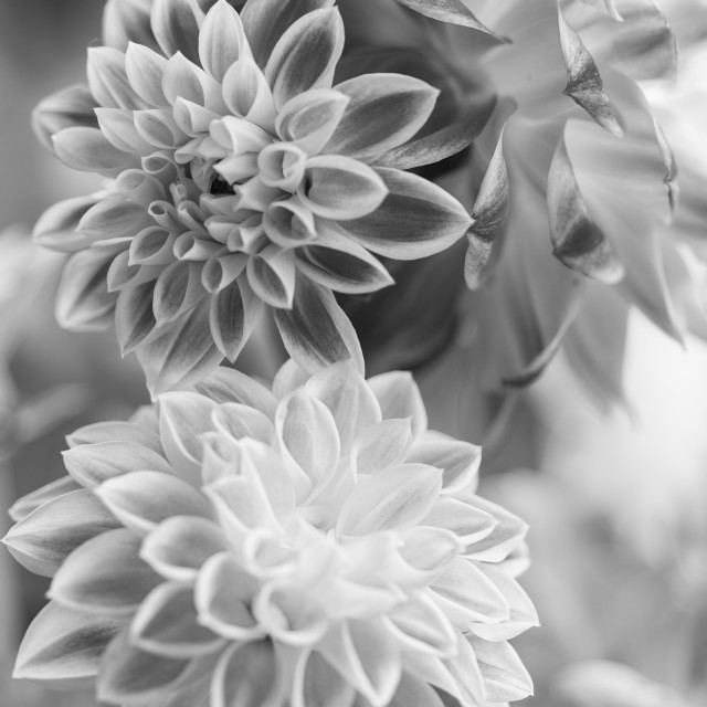 """Three Dahlias"" stock image"