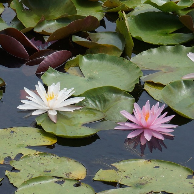 """Colorful Water Lillies"" stock image"
