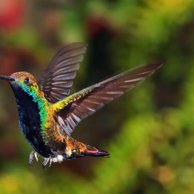 """""""A Hummingbird about to Land"""" stock image"""