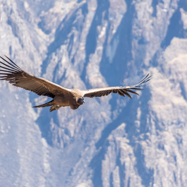 """Flying Andean Condor"" stock image"