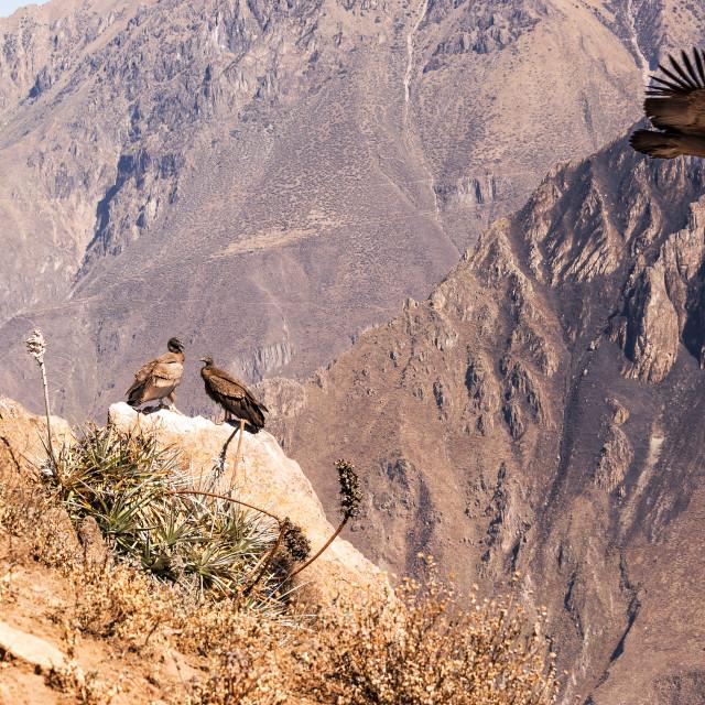"""""""Colca Canyon Condors"""" stock image"""