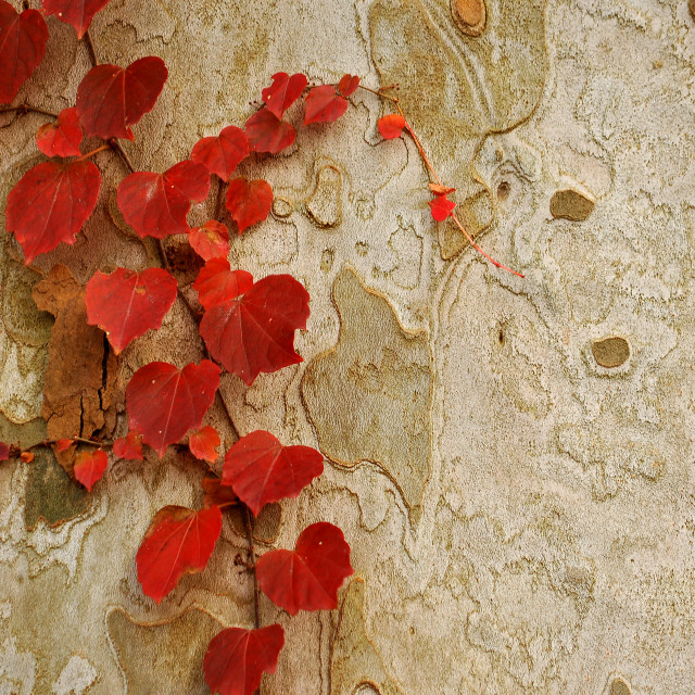 """Red Leaves on Gray Bark"" stock image"