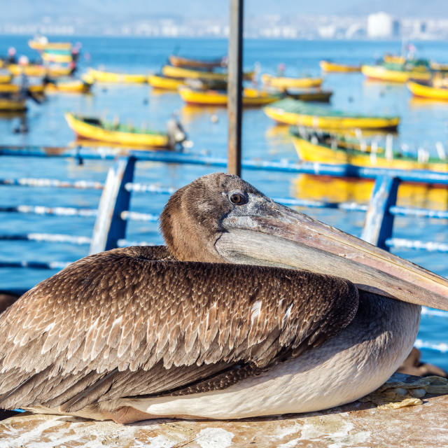 """""""Pelican and Colorful Boats"""" stock image"""