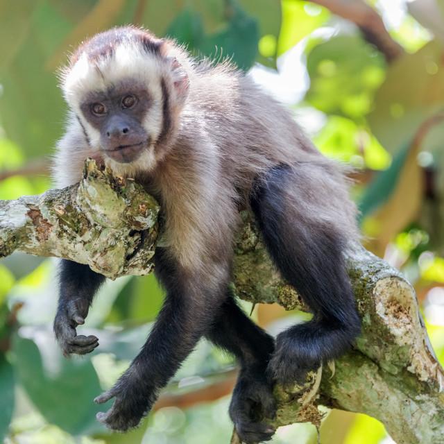 """Relaxing Capuchin Monkey"" stock image"