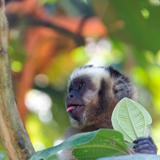 """""""Capuchin Monkey with Tongue Out"""" stock image"""