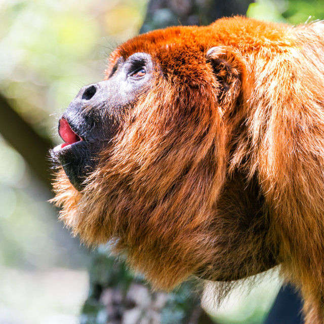 """""""Red Howler Monkey Alpha Male"""" stock image"""