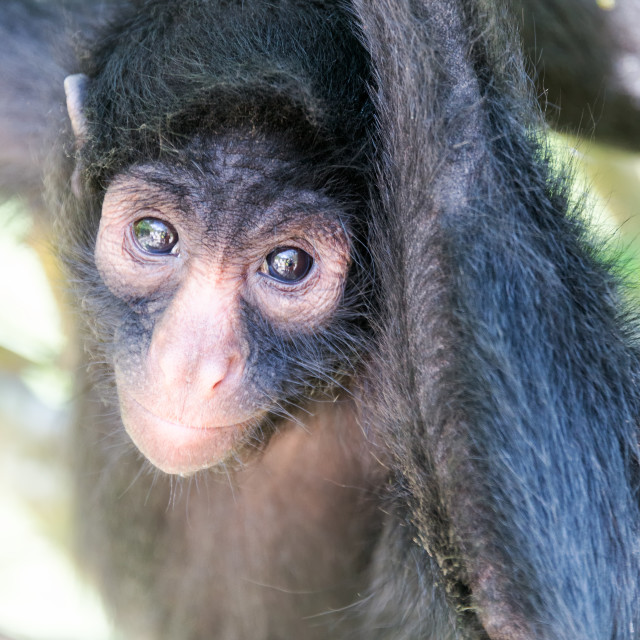 """""""Spider Monkey Vertical View"""" stock image"""