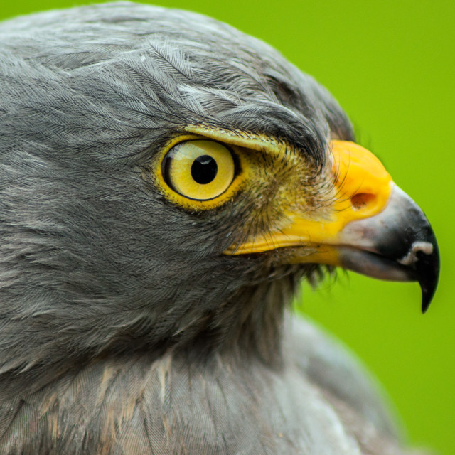 """Roadside Hawk Portrait"" stock image"