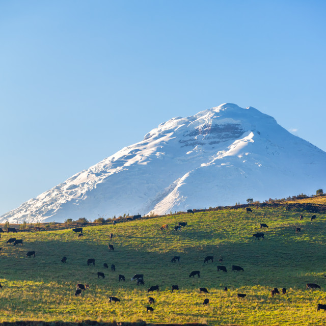 """Cotopaxi Volcano and Livestock"" stock image"