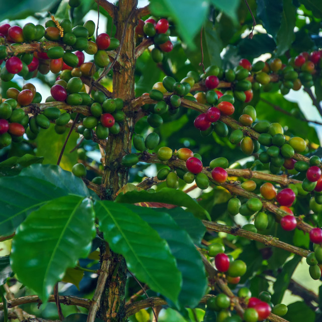 """Ripening Coffee Plant"" stock image"