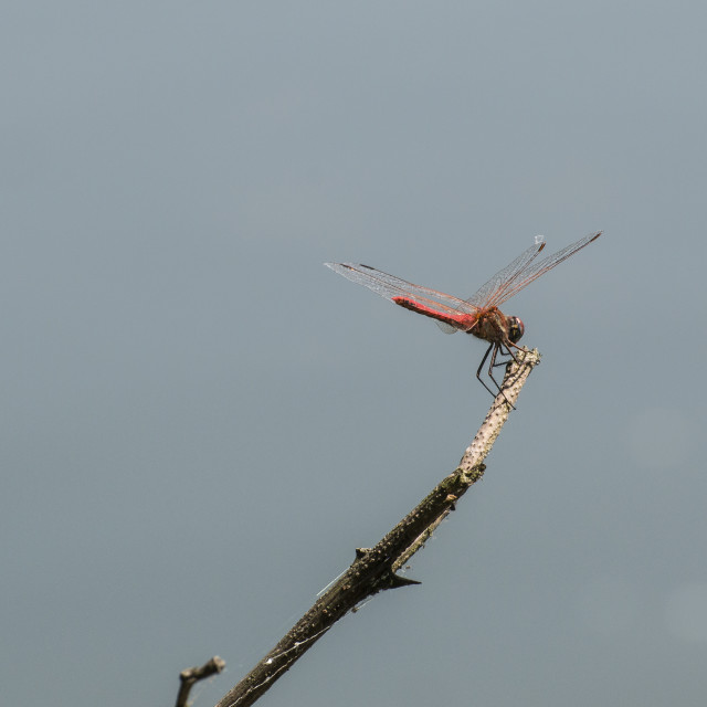 """Red dragonfly"" stock image"