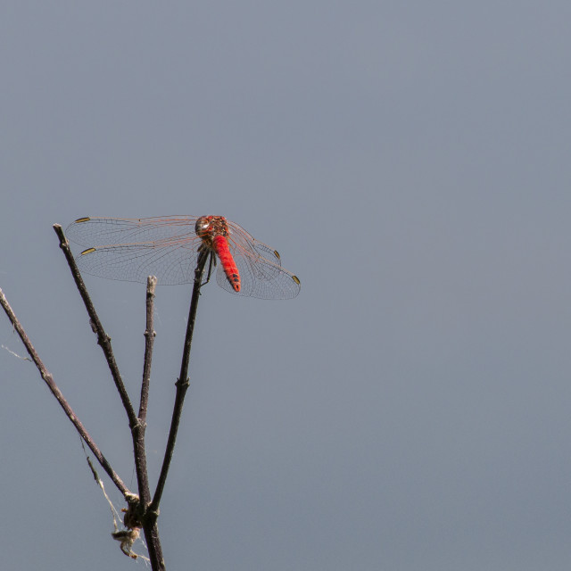 """Red dragonfly on branch"" stock image"