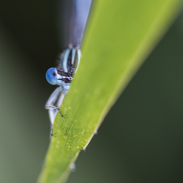 """Blue eye dragonfly on blade"" stock image"