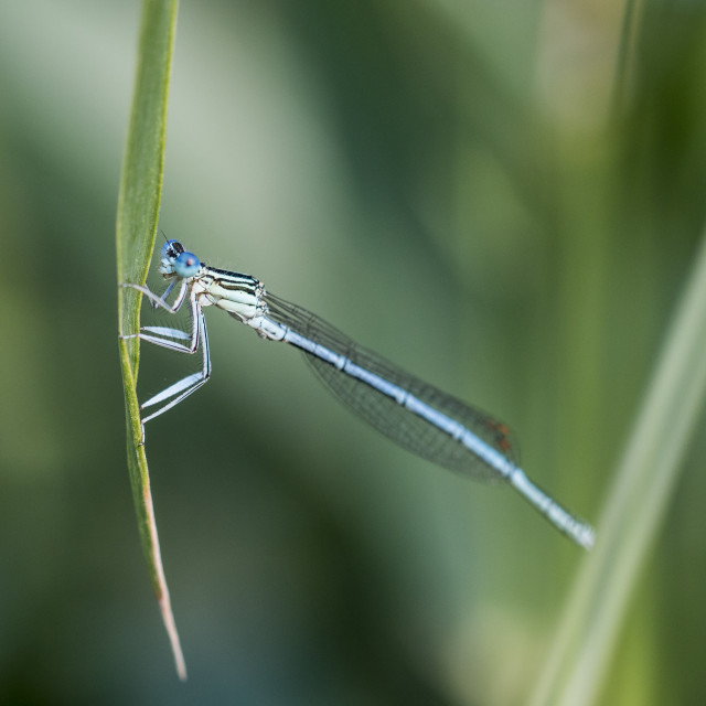 """Blue dragonfly on blade"" stock image"