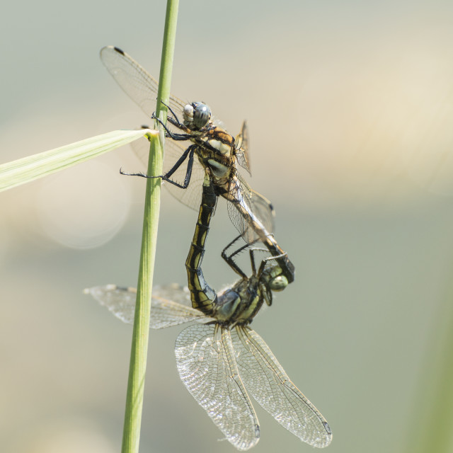 """Mating dragonflies on blade"" stock image"