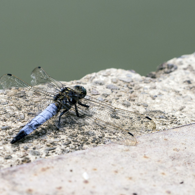 """Dragonfly on rock"" stock image"