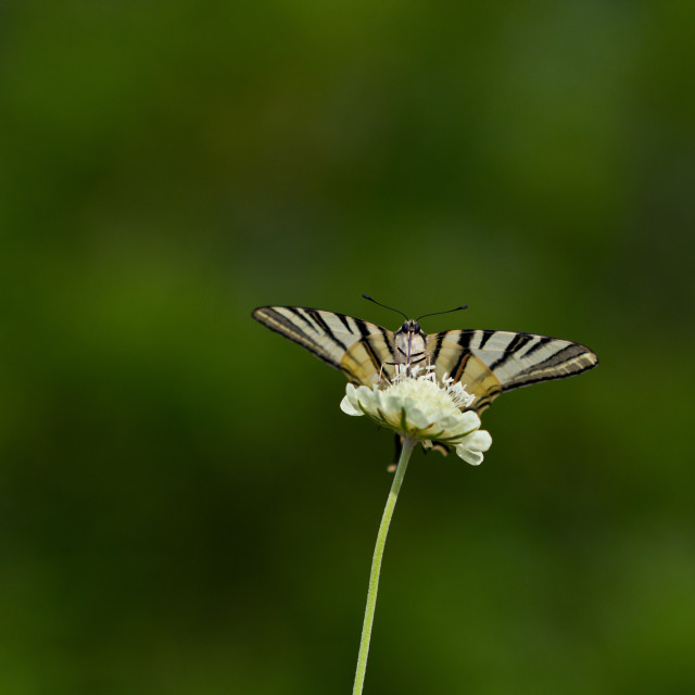 """Butterfly on flower - Iphiclides podalirius"" stock image"