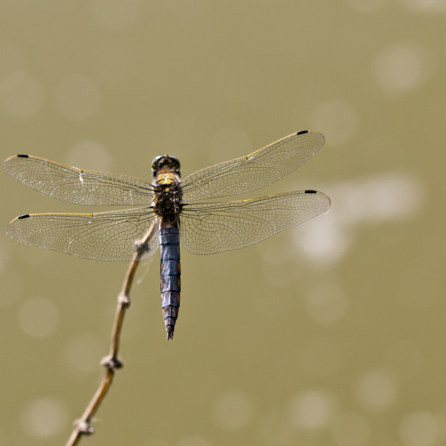 """Dragonfly on branch"" stock image"
