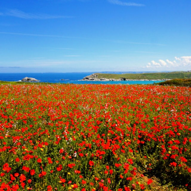"""The Poppies of West Pentire."" stock image"
