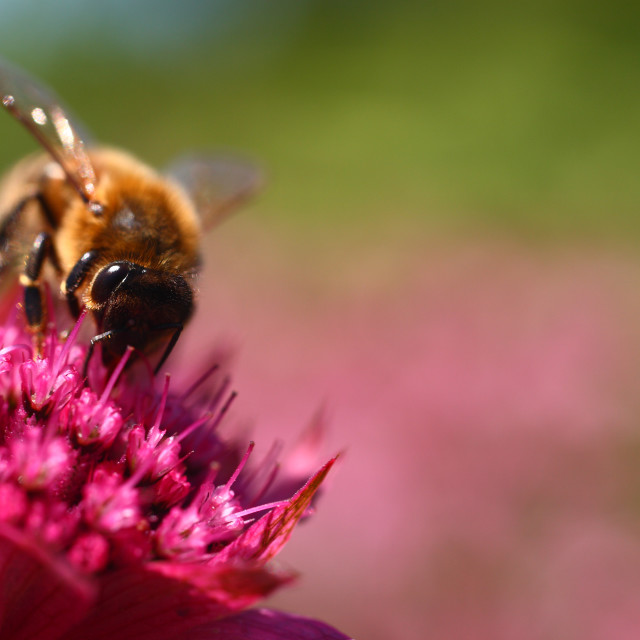 """Bee pollinating an Astrantia"" stock image"