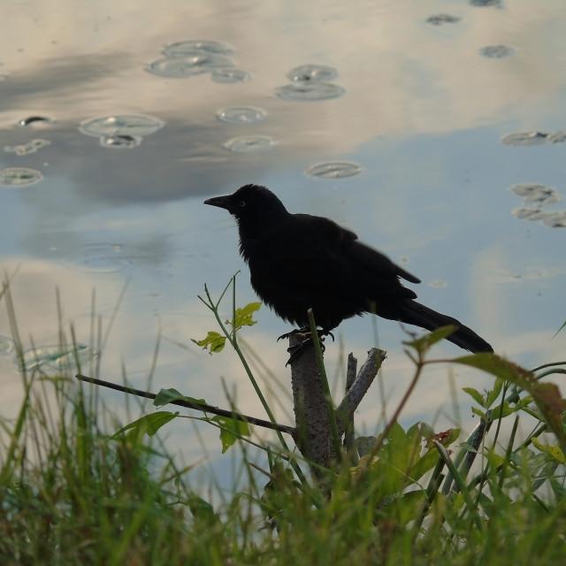 """Black Bird"" stock image"