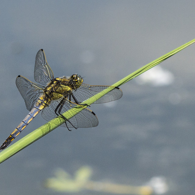 """Dragonfly on blade"" stock image"