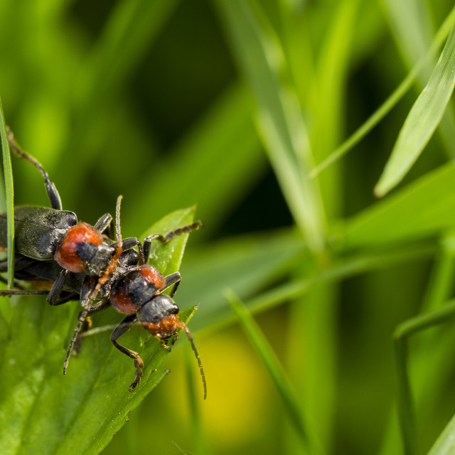 """Mating beetle"" stock image"