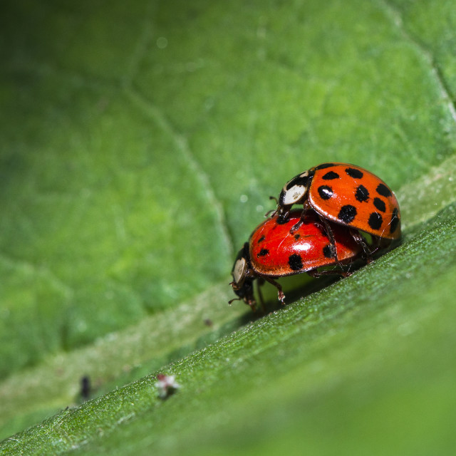 """Mating ladybird"" stock image"
