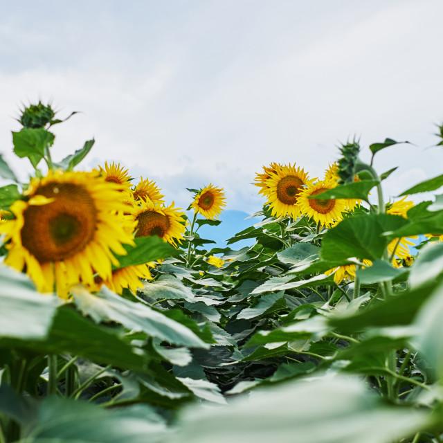"""Walking through sunflowers"" stock image"