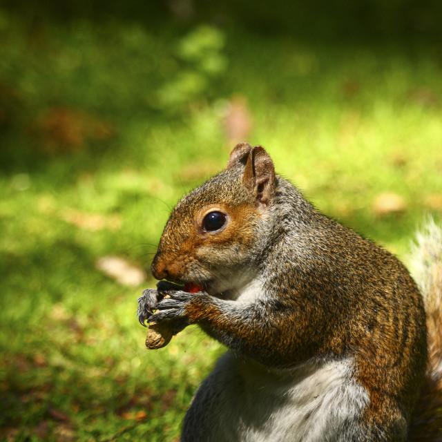 """""""Squirrel in parkland"""" stock image"""