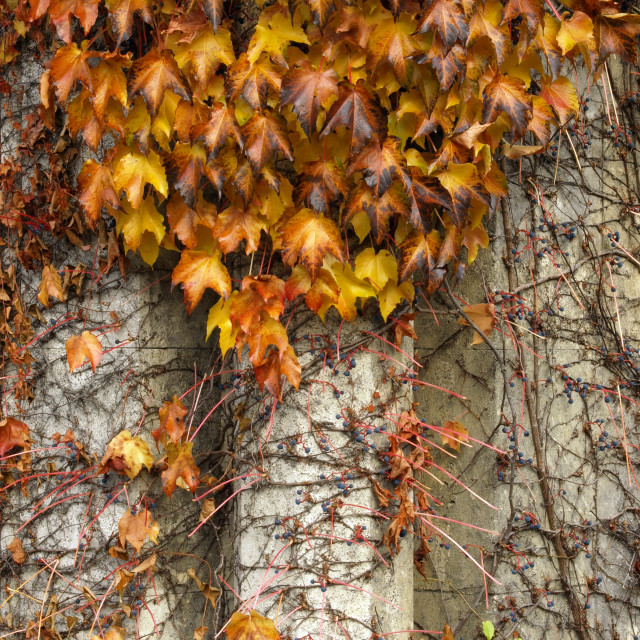"""""""Wall With Vines"""" stock image"""