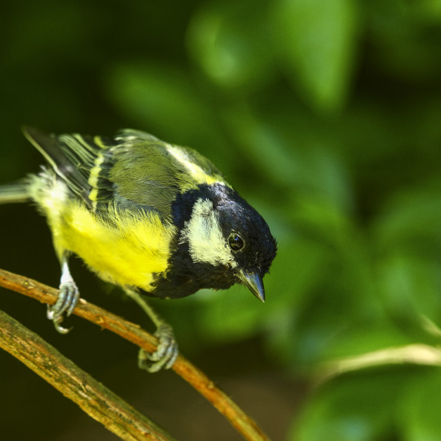 """""""Blue tit perched on a branch"""" stock image"""