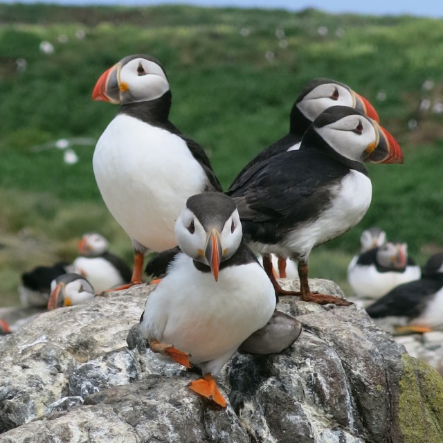 """""""A circus of puffins"""" stock image"""