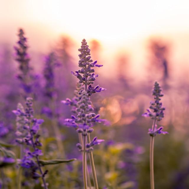 """""""Violet lavender field background on sunset."""" stock image"""