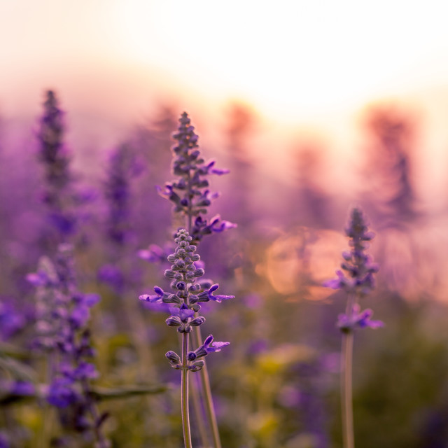 """Violet lavender field background on sunset."" stock image"