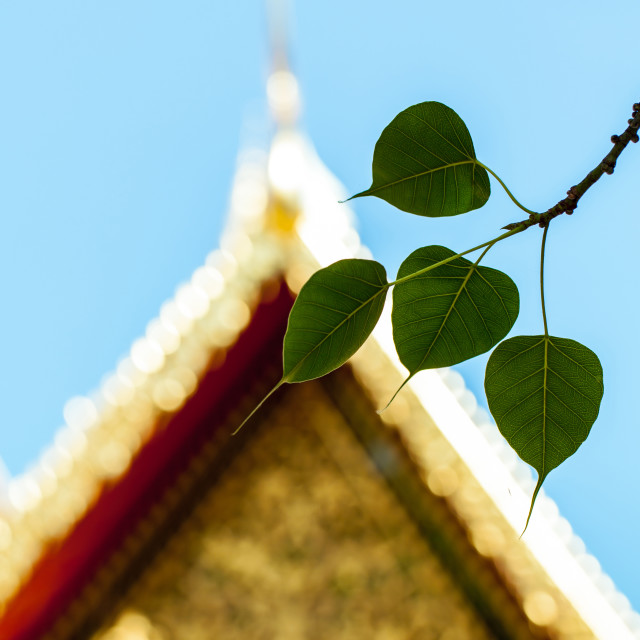 """Sacred fig leaves with the temple background."" stock image"