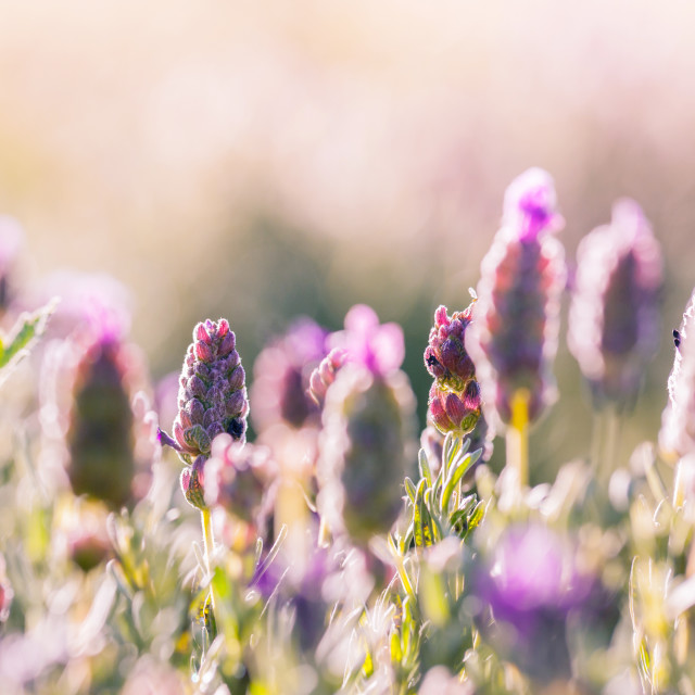 """Violet flowers field background on sunset."" stock image"