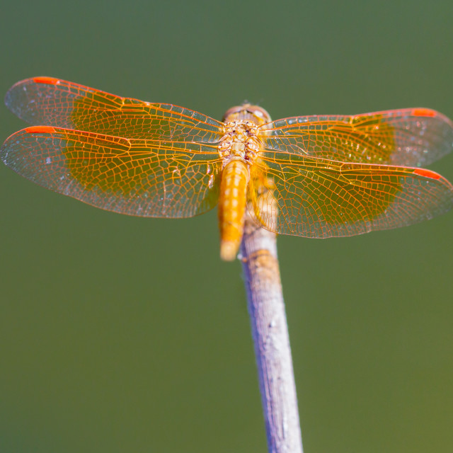 """Resting red dragonfly at the lake ."" stock image"