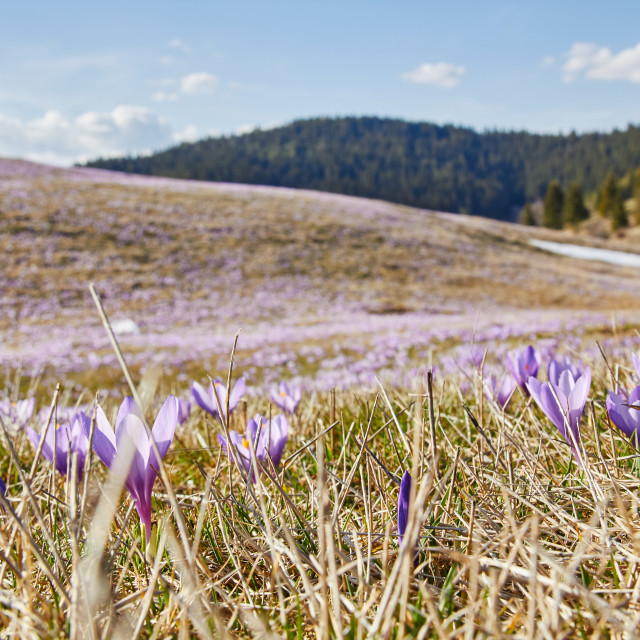 """The first crocus bloom"" stock image"