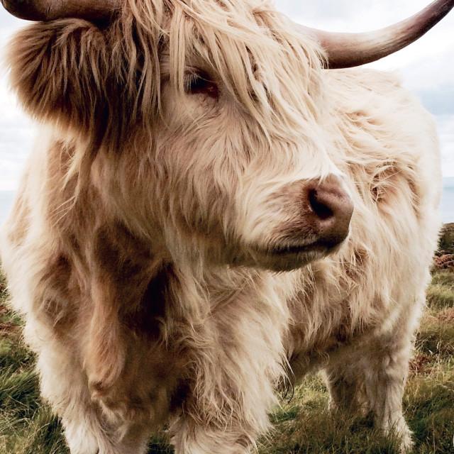 """Highland Cow, Lundy Island"" stock image"