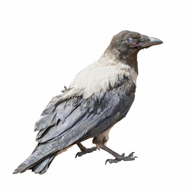 """Black Hooded Crow"" stock image"
