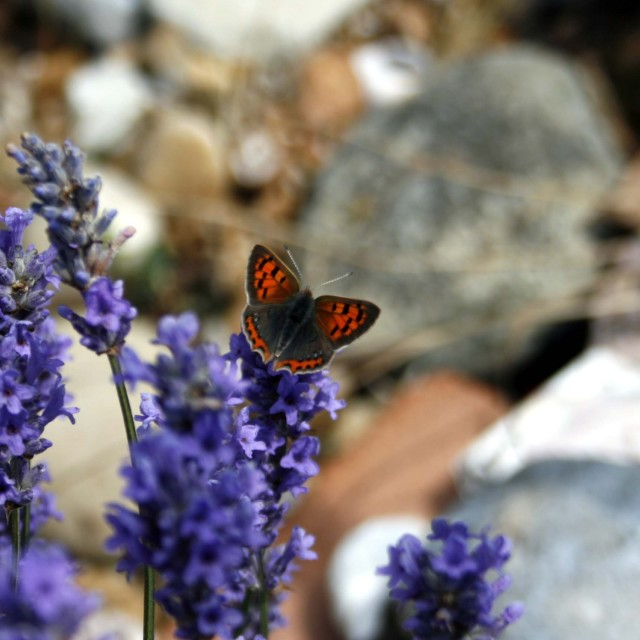 """Little Copper Butterfly"" stock image"