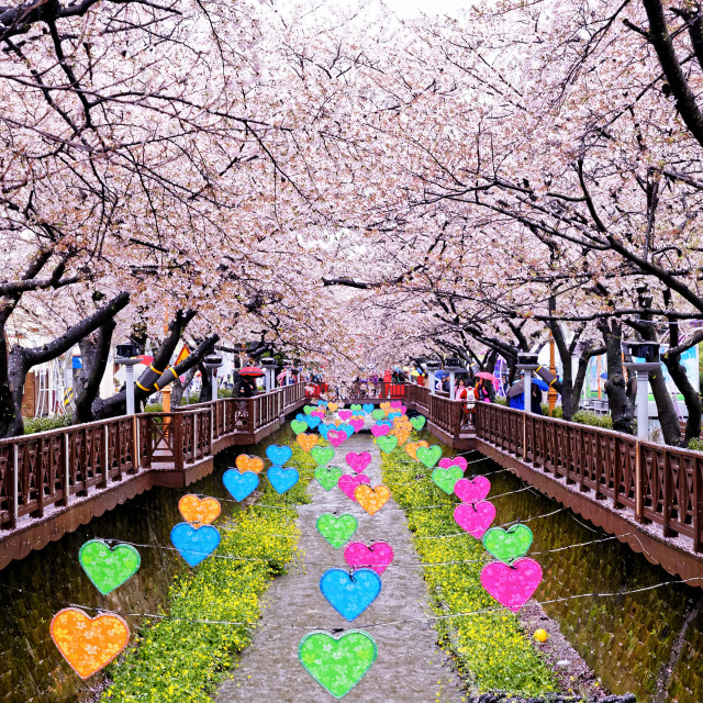 """""""cherry blossoms at day busan city in korea"""" stock image"""