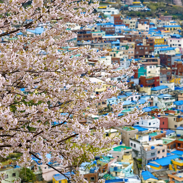 """Sakura tree at Gamcheon Culture Village, Busan"" stock image"