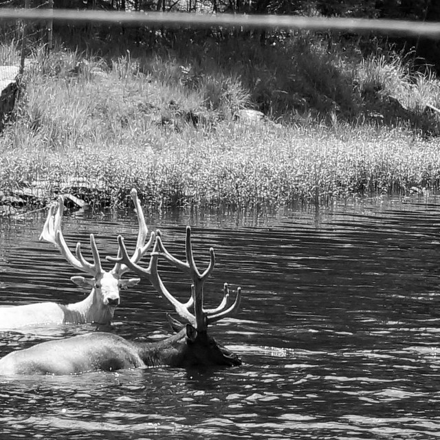 """Swimming Elk in black and white"" stock image"