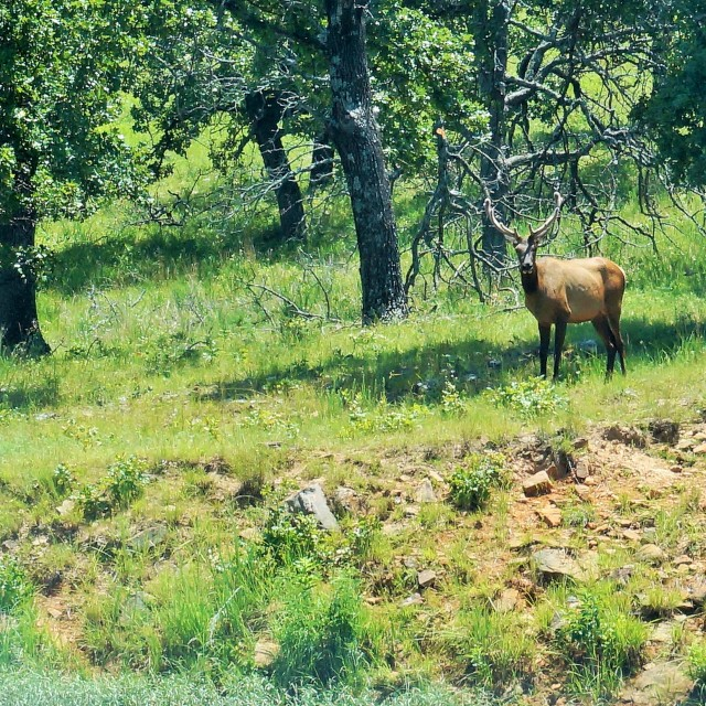 """Elk standing on hillside"" stock image"