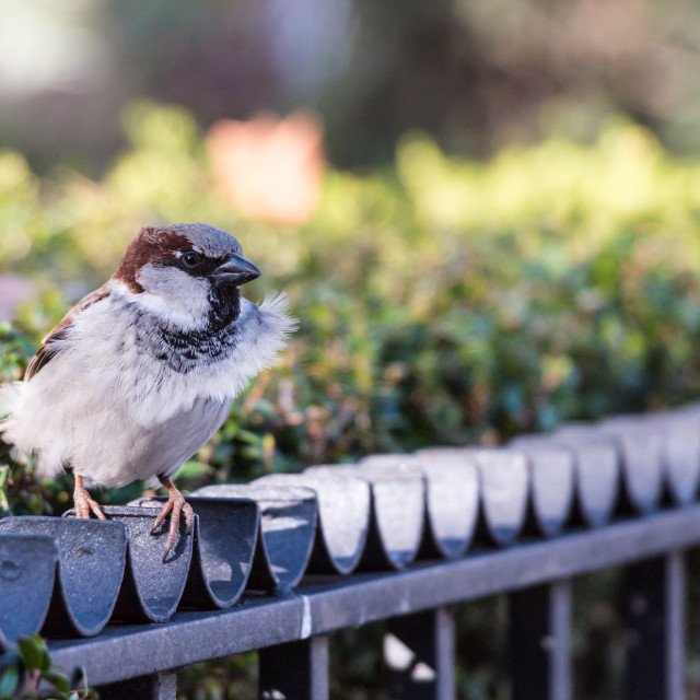 """Sparrow on the fence"" stock image"