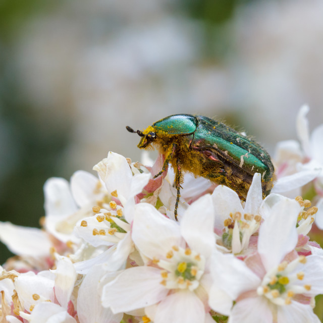 """Rose Chafer"" stock image"
